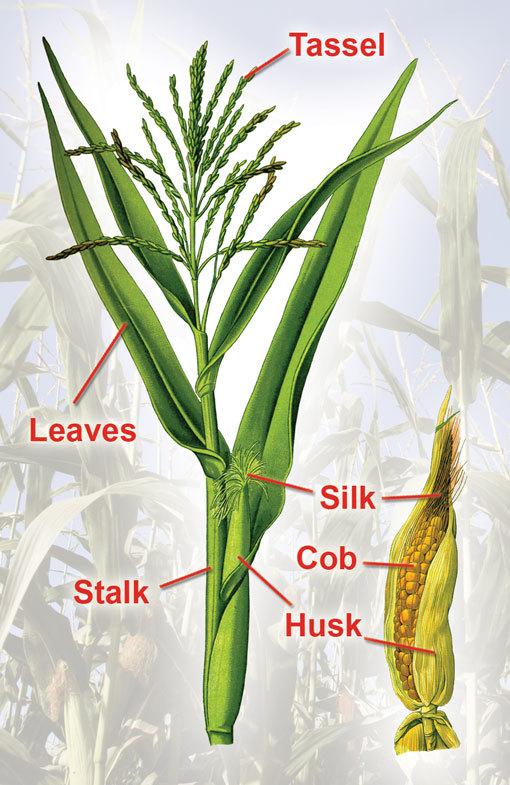corn_parts.jpg