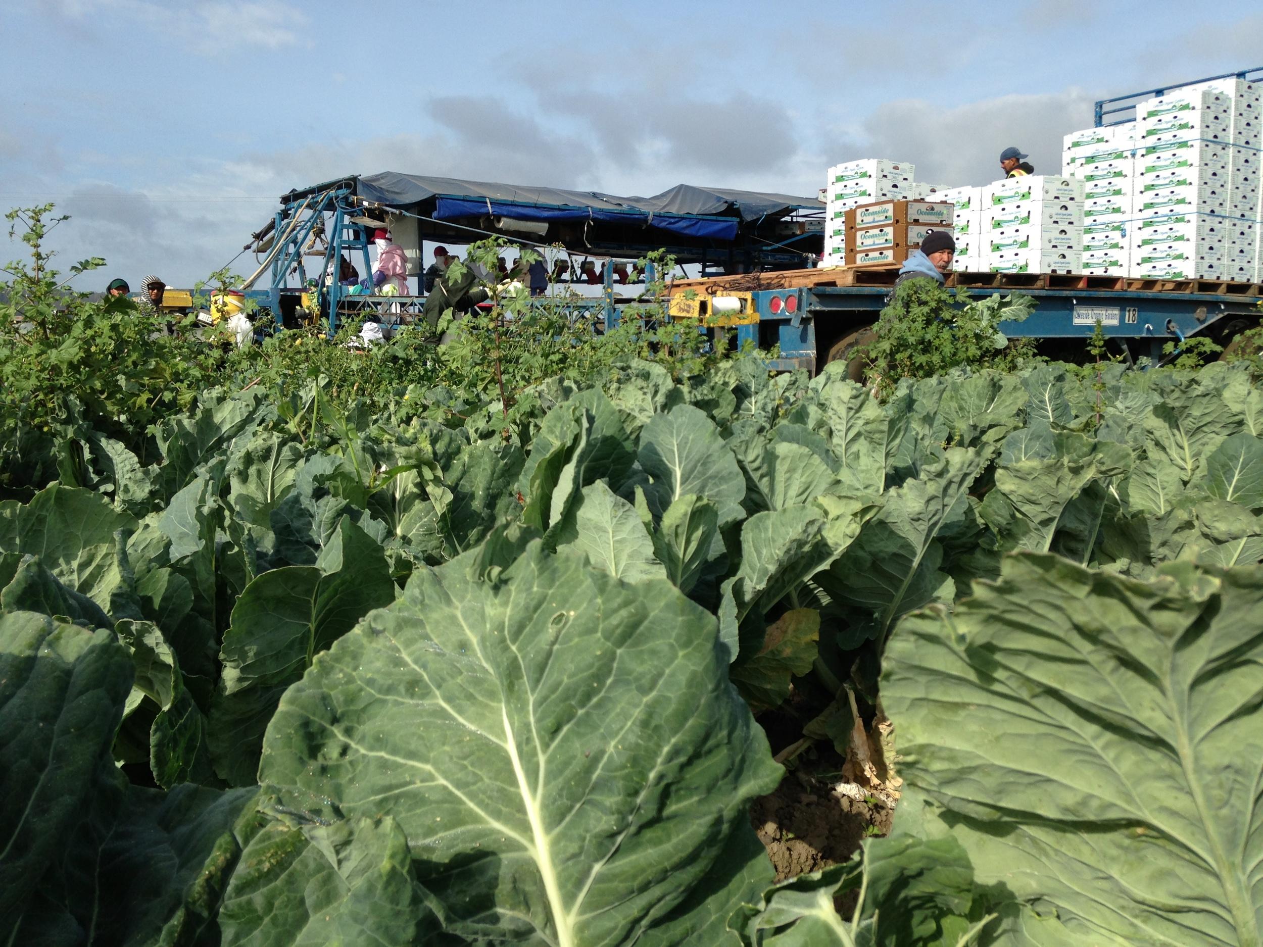 cauliflowerfield.jpg