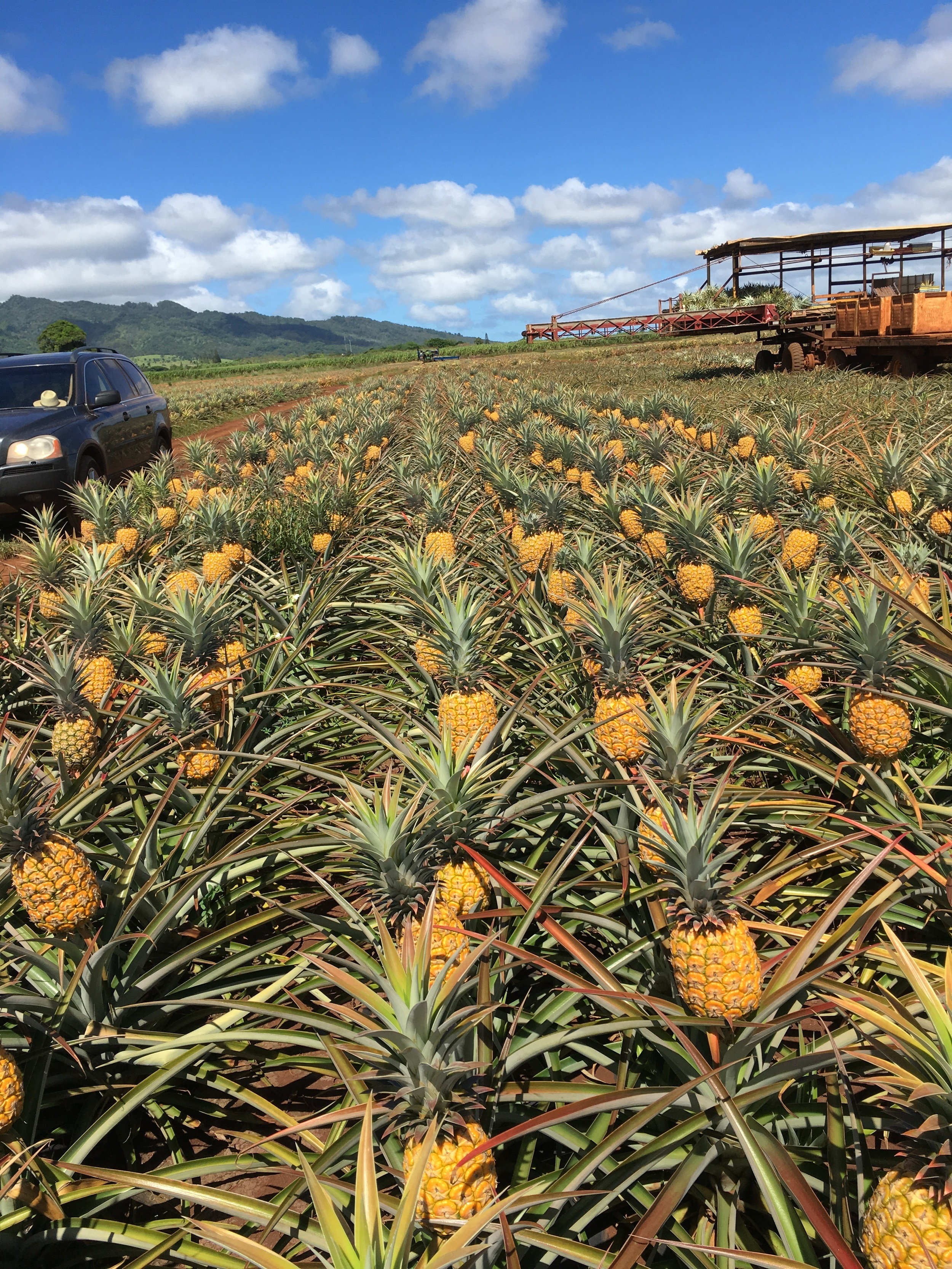 A field of Hawaiian Crown pineapples ready to be harvested. - Photos (top and bottom) by Craig Bowden