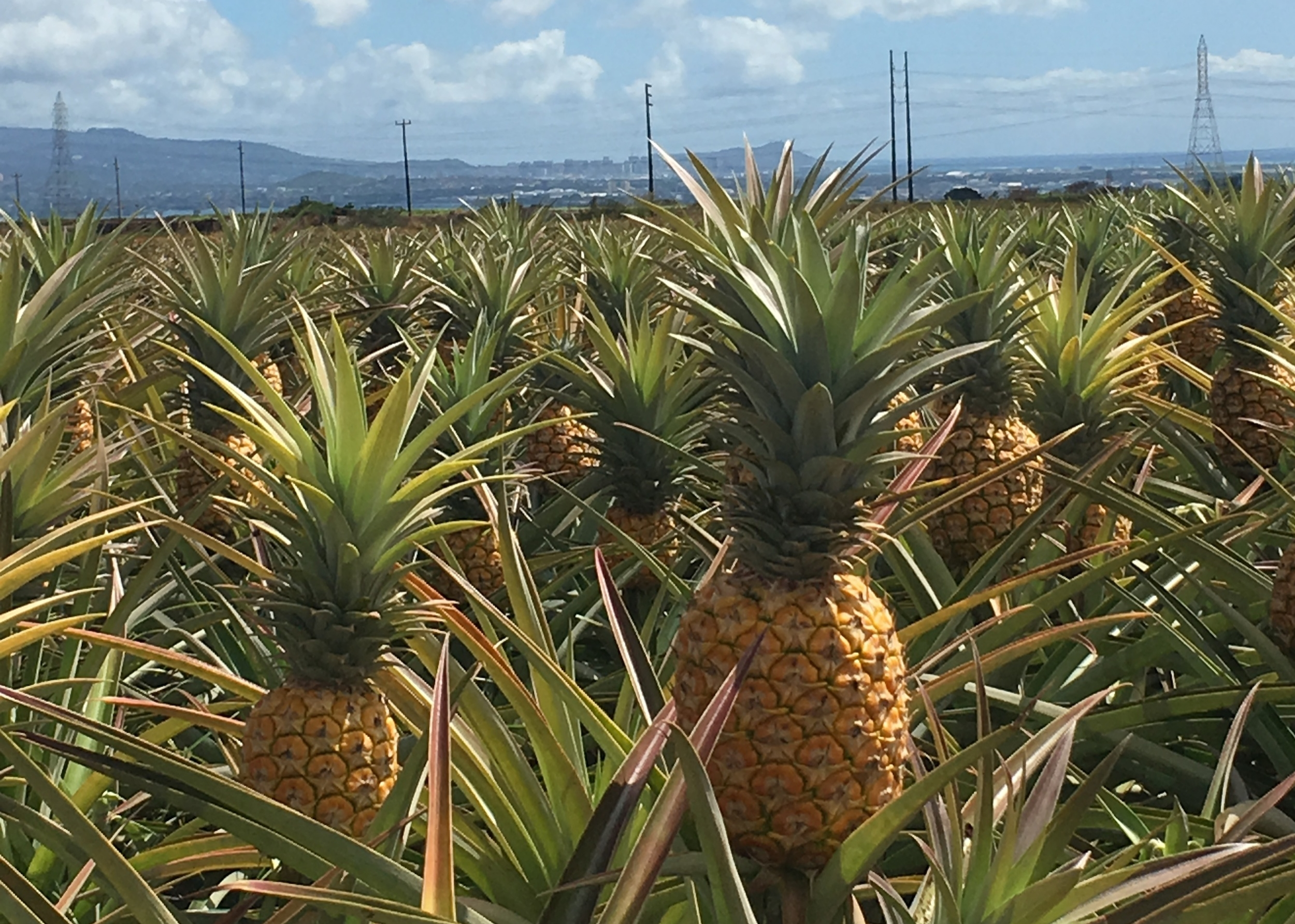 A field of Hawaiian Crown pineapples ready to be harvested. - Photo by Craig Bowden