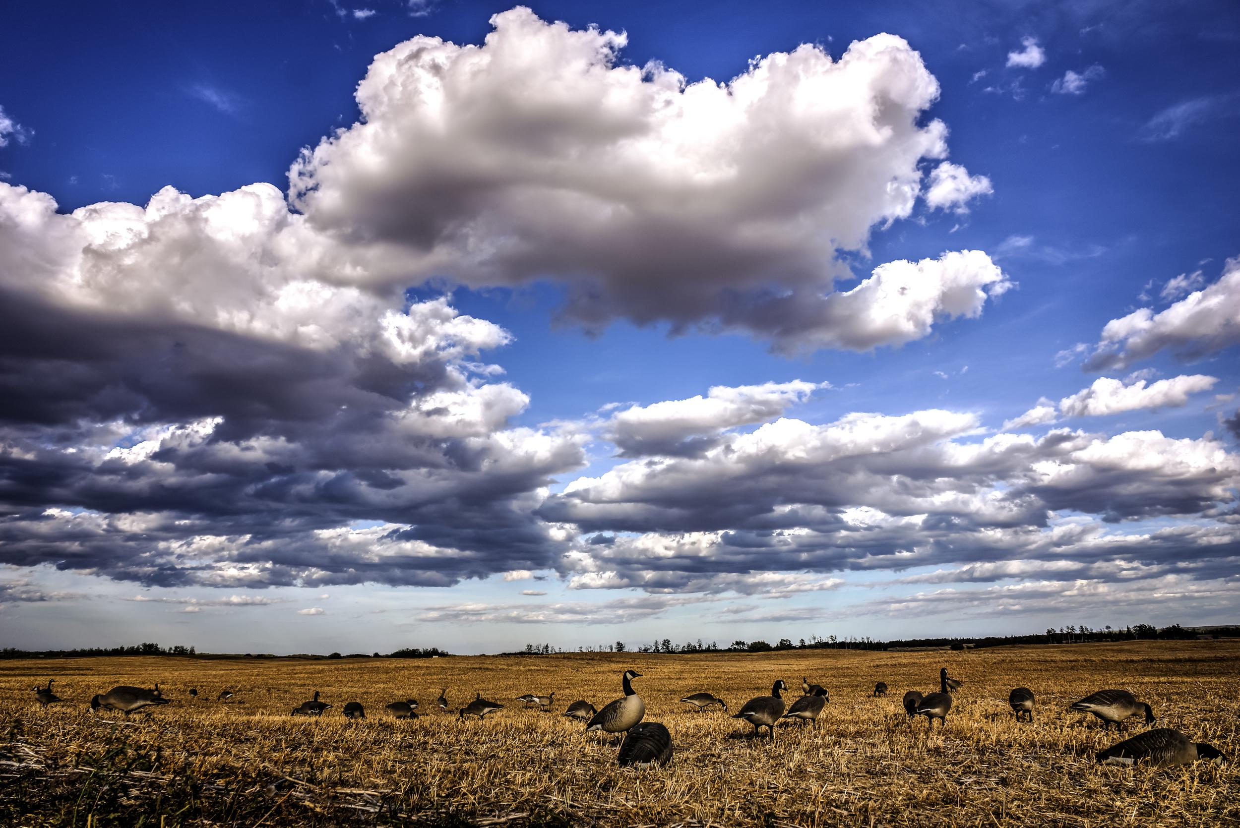 geese field.jpg
