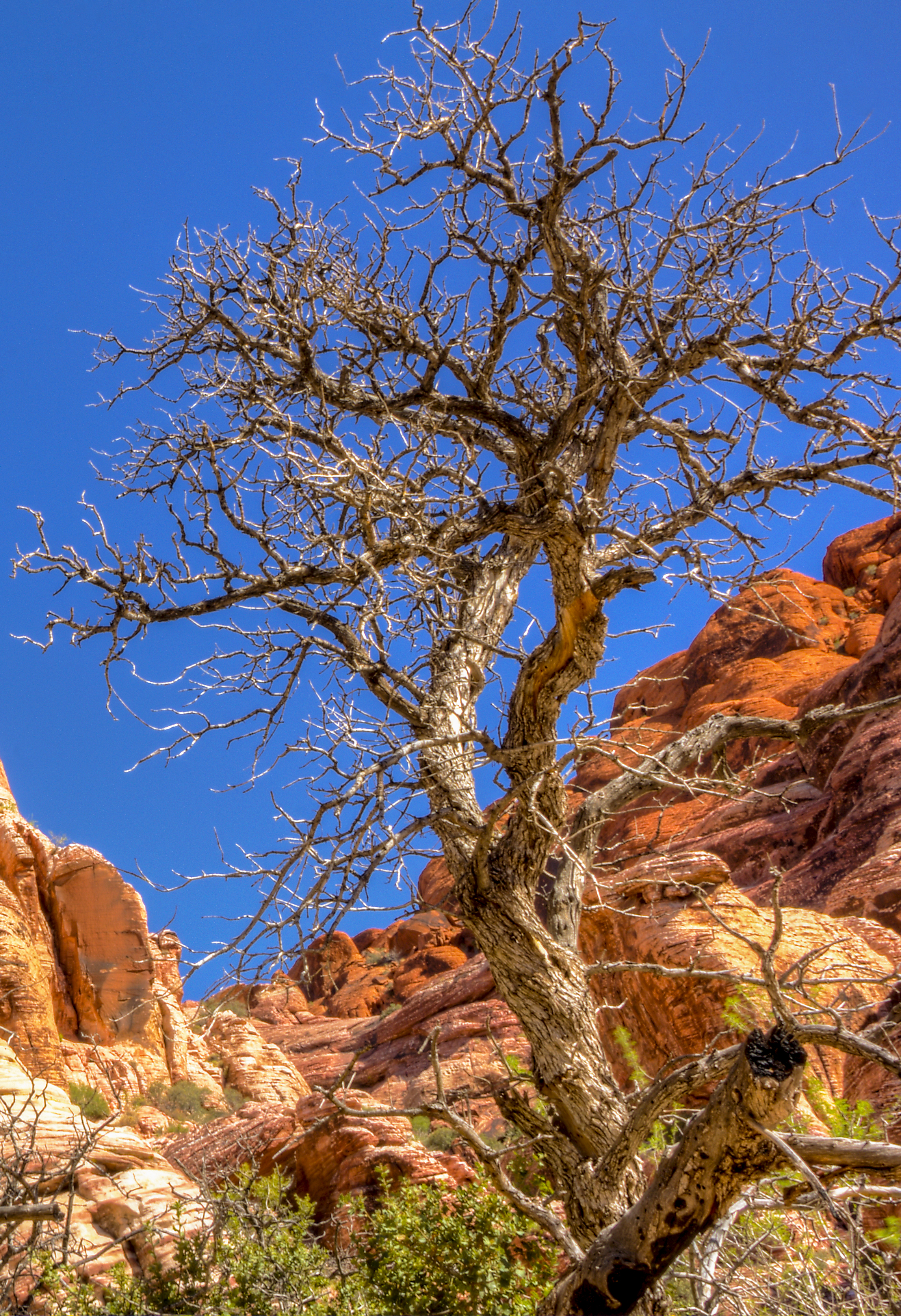 Red rock tree 1.jpg