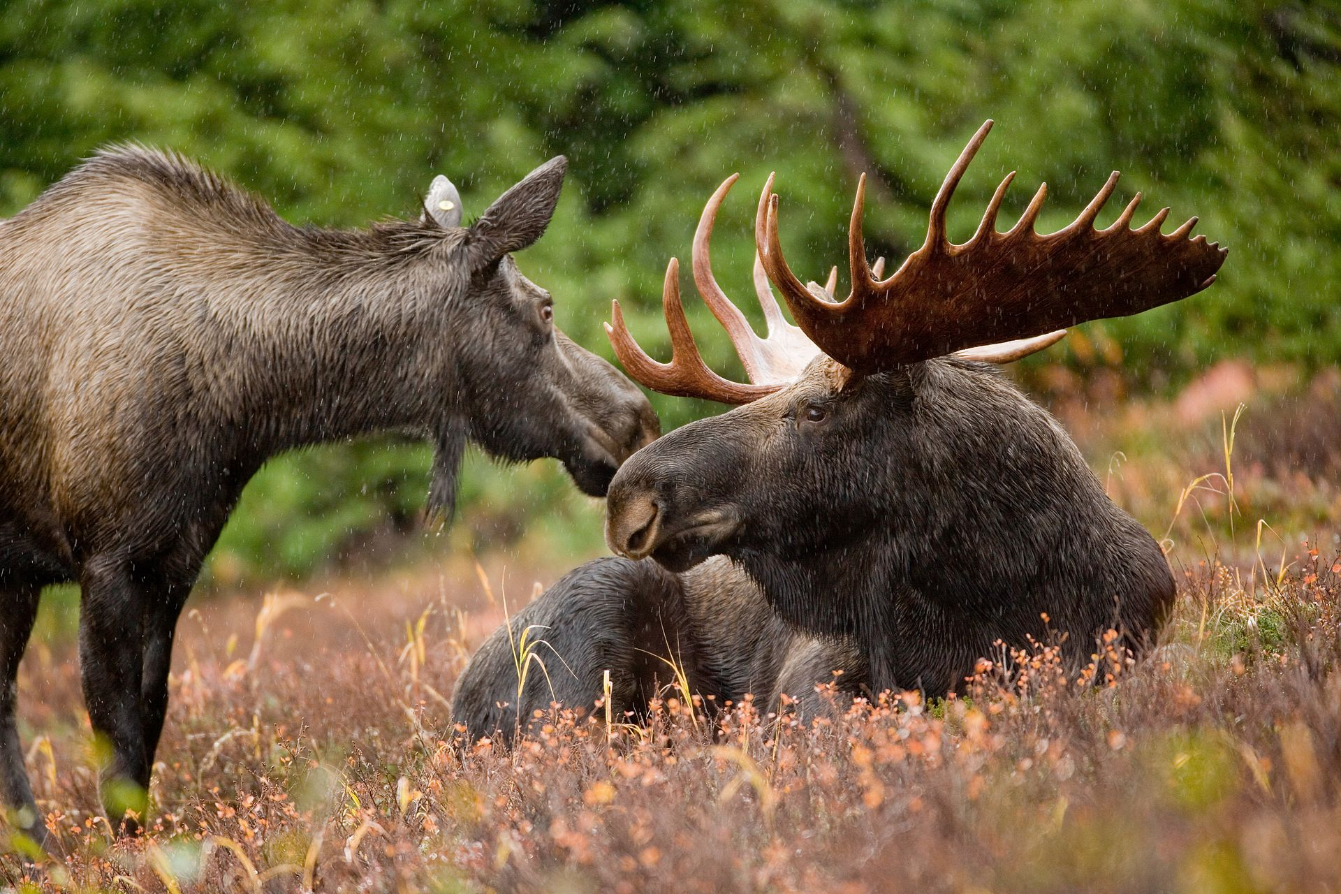 Moose  Alces alces  (these are Alaskan moose) are often mentioned in discussions of domestication attempts. The commonest thing said is that they come with too much baggage to allow domestication -- but this simply might not be true at all. Image: Ryan Hagerty, in the public domain.  Original at Pixnio.