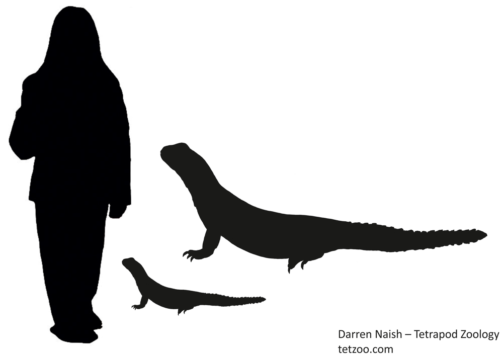 I was curious to know what a c 90 cm mastigure would look like compared to a person. The smaller of these silhouettes reveals the answer. Not as impressive as I was hoping. The larger lizard silhouette depicts the approximate size of the Eocene taxon  Barbaturex , though we don't know that it had spiny whorls on its tail as shown in the illustration. The human figure is 1.7 m tall. Image: Darren Naish.