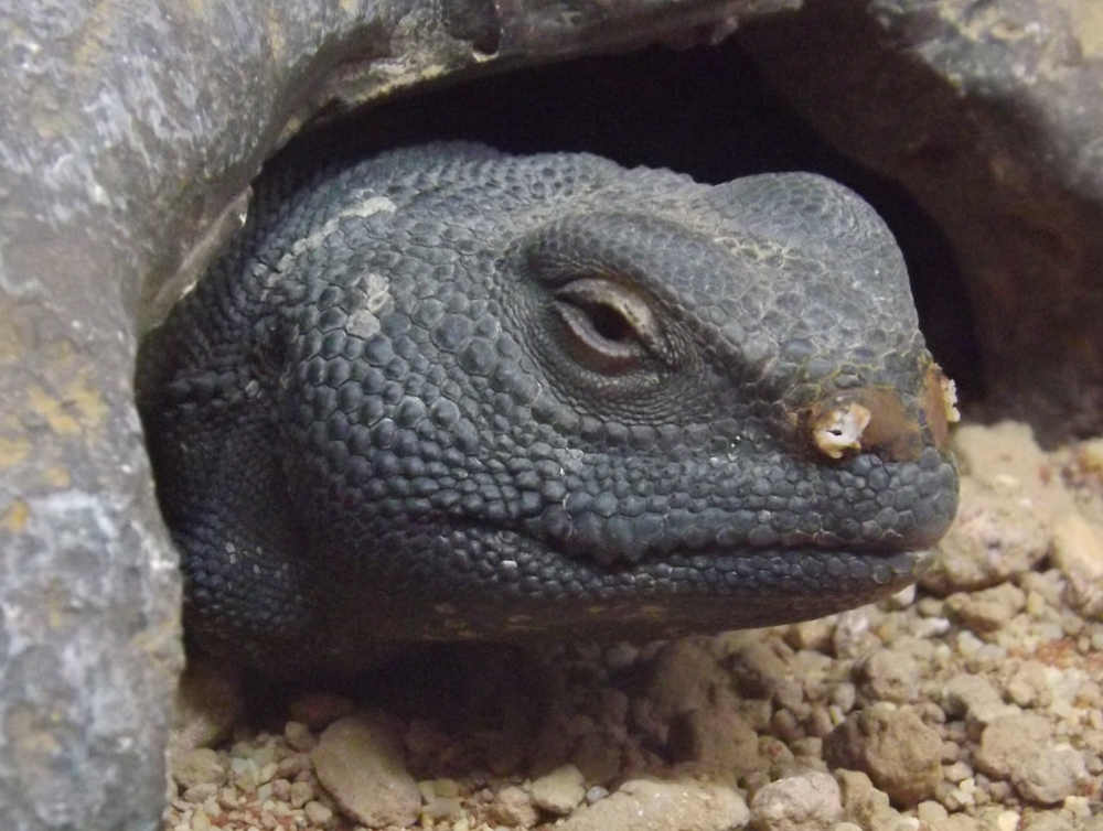 Head detail of a captive  U. acanthinurus . Note the pseudoteeth-like upper labial scales. The white exudate around the nostrils is pretty typical: it's salt discharge and evidence of nasal salt excretion typical for desert-dwelling lizards. Image: Darren Naish.