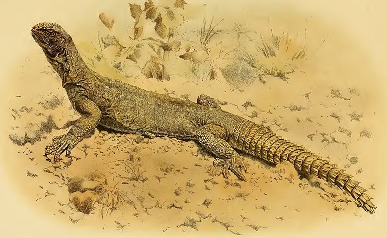 An Egyptian spiny-tailed lizard  U. aegyptia , as depicted in John Anderson's 1898 volume on the amphibians and reptiles of Egypt. Image: Anderson 1898.