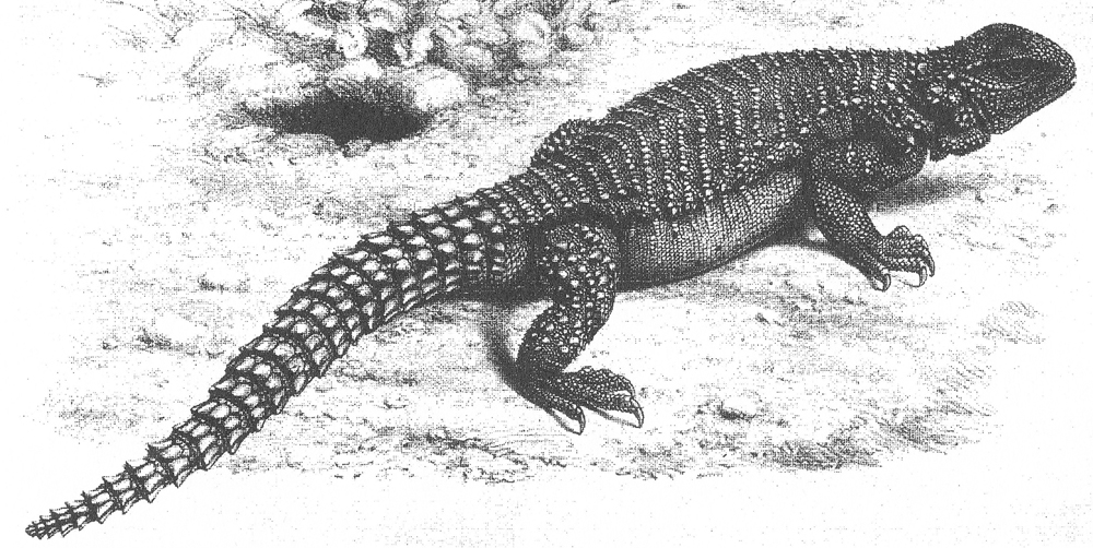 Persian or Iranian spiny-tailed lizard  Saara asmussi , as illustrated in William Blanford's paper of 1876. This species occurs in Iran, southern Afghanistan and Pakistan. The  Saara  species were included within  Uromastyx  prior to Wilms et al. (2009). Image: Blanford 1876.