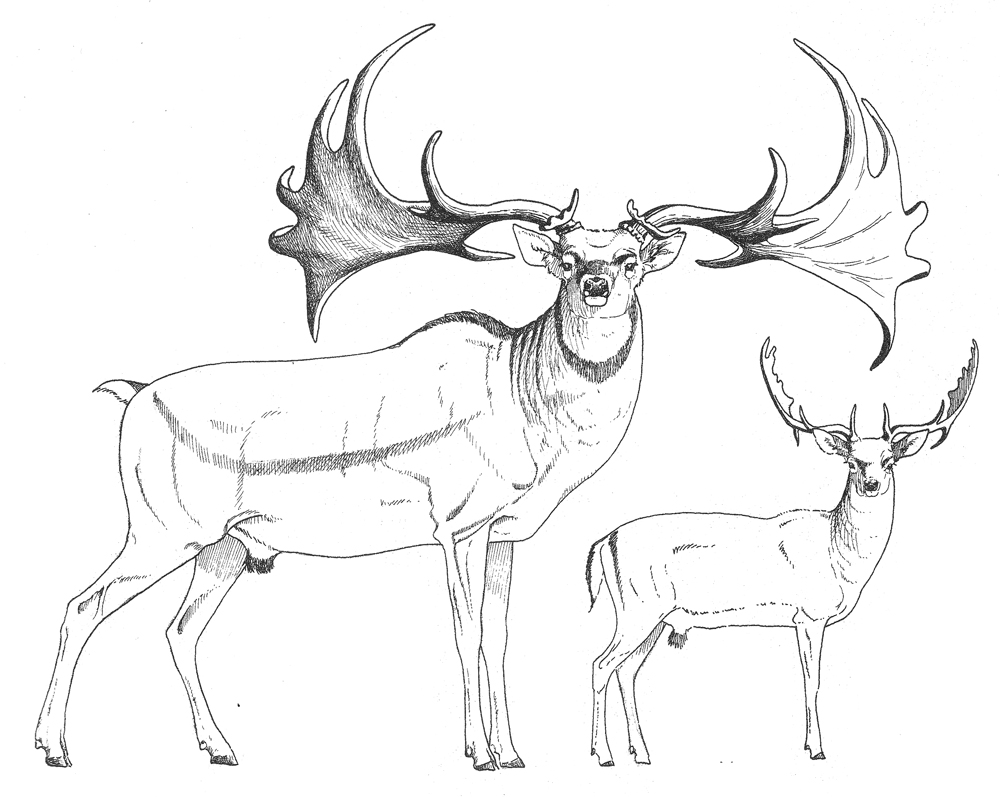 M. giganteus  as reconstructed by Valerius Geist, and shown to scale with the extant  Dama dama . Geist was (and presumably is) a strong advocate of the idea that megacerines (yes: megacerines, not 'megalocerines') are part of the same lineage as  Dama . Image:  Geist (1999) .