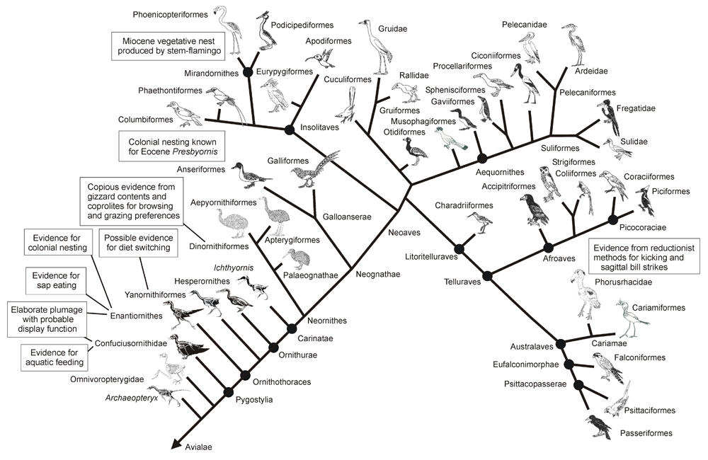 This image has no special relevance to any of the TetZooCon bird talks, but here it is anyway. It's a (now somewhat dated) bird phylogeny, produced for my 2014 paper on bird palaeobehaviour ( available here ). Image: Darren Naish.