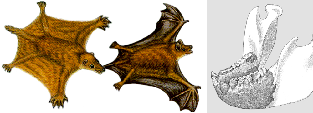 Among my suggested 'fossils we want to find' are protobats (like the hypothetical examples shown at left, from Graham (2002)) and a good skeleton of the giant hominid  Gigantopithecus blacki . This ilustration of a lower jaw is from Simons & Ettel's (1970) magazine article. Images: Graham (2002), Simons & Ettel (1970).