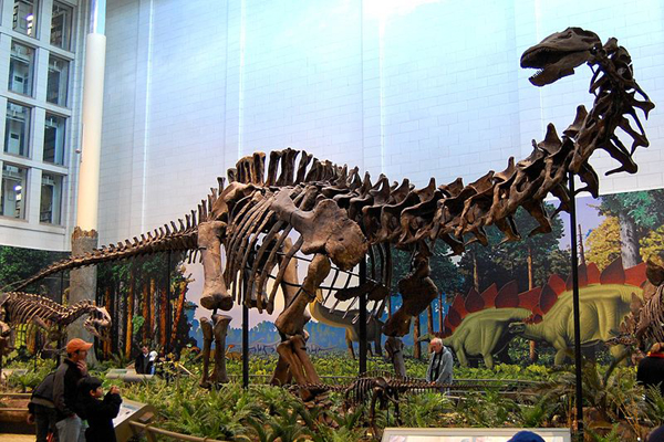 Another fantastic apatosaurine: this is  Apatosaurus louisae , photographed at the Carnegie Museum. You might be wondering what the deal is as goes those massive club-like processes on the cervical vertebrae. Yeah, we're working on that. Really… we are. Image:  Tadek Kurpaski  CC BY 2.0 ( original here ).