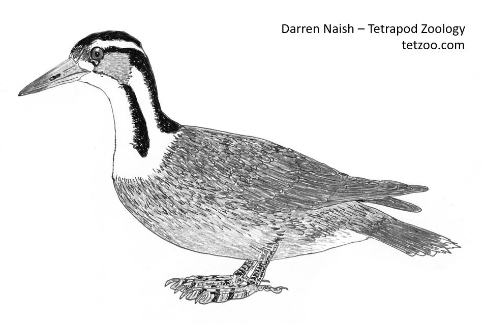 Heliornis , as illustrated for the HUGE bird section of the in-prep  The Vertebrate Fossil Record . Yes, there are fossil heliornithids (or… claimed heliornithids, anyway).   Progress on this book can be viewed here at my patreon.   Image: Darren Naish.