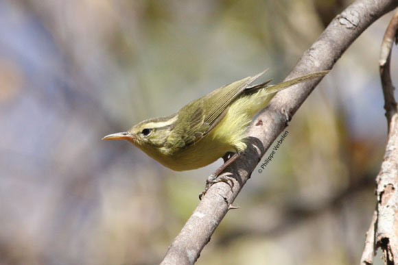 Rote leaf warbler in life, a novel member of an otherwise conservative group. Image: (c) Philippe Verbelen.
