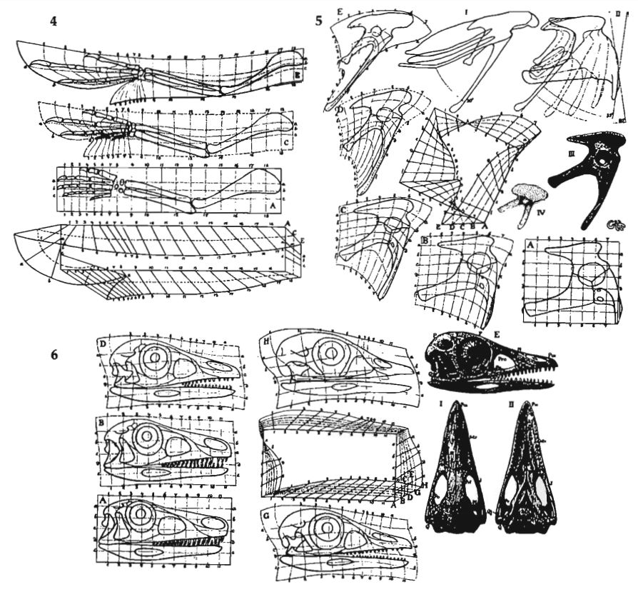 Heilmann included these Cartesian transformations in the 1916 version of his book, but they weren't included in the 1926 English version. His take on Proavis was not, therefore, simple guesswork. Image: this montage is from Witmer (1991) but the originals are from Heilmann (1916).