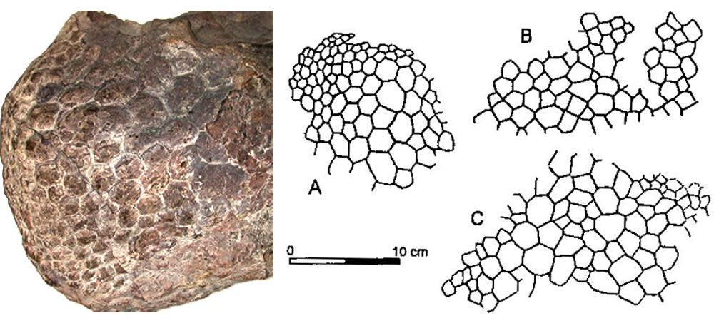 Haestasaurus  from the English Wealden (shown at left) and a few other sauropods preserve polygonal scales that vary somewhat in size. Image: Darren Naish, Czerkas (1994).