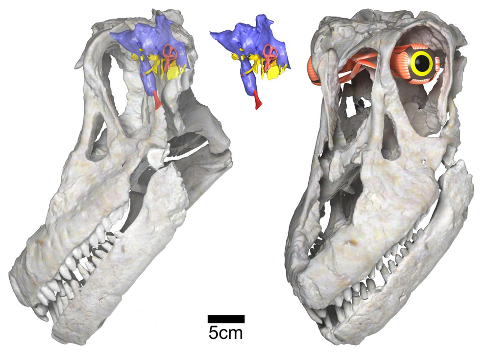 The skulls of some sauropods - this is the titanosaur  Sarmientosaurus  - indicate that there were bulbous nasal structures covering much of the snout region. Image: WitmerLab.