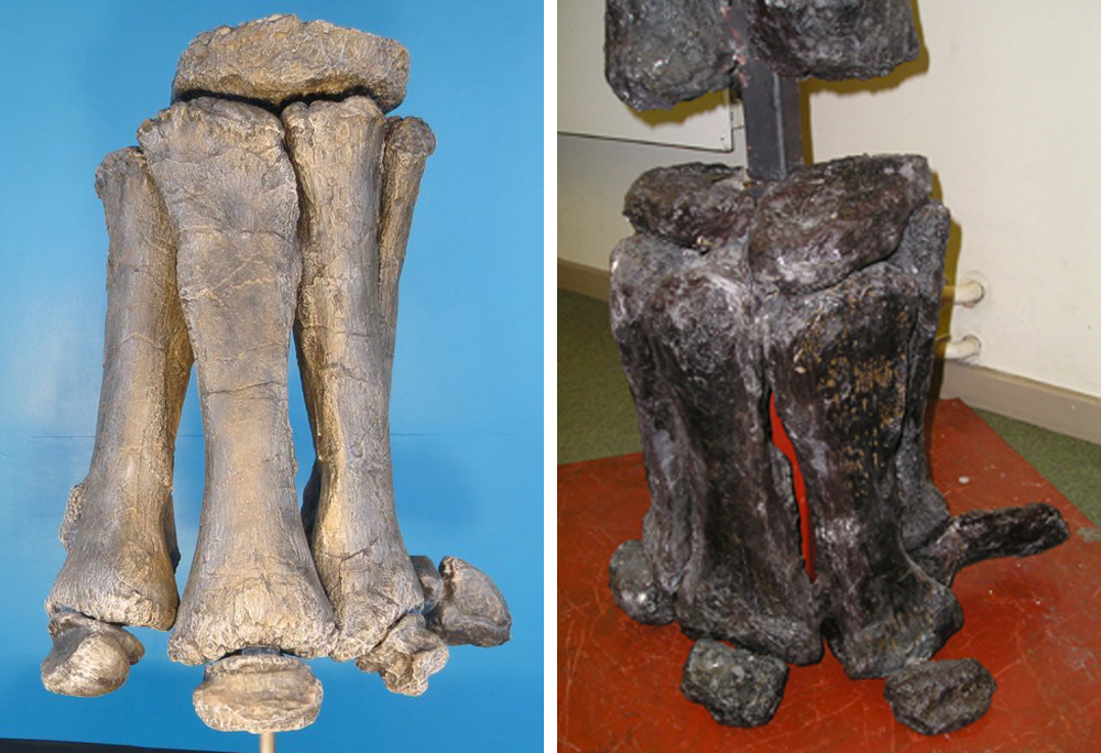 Sauropod hands are essentially unique. They're weird, semi-tubular structures with pillar-like metacarpals. At left, a brachiosaur hand. At right, the hand of the turiasaur  Zby . Images: Anthony Maltese, Darren Naish.