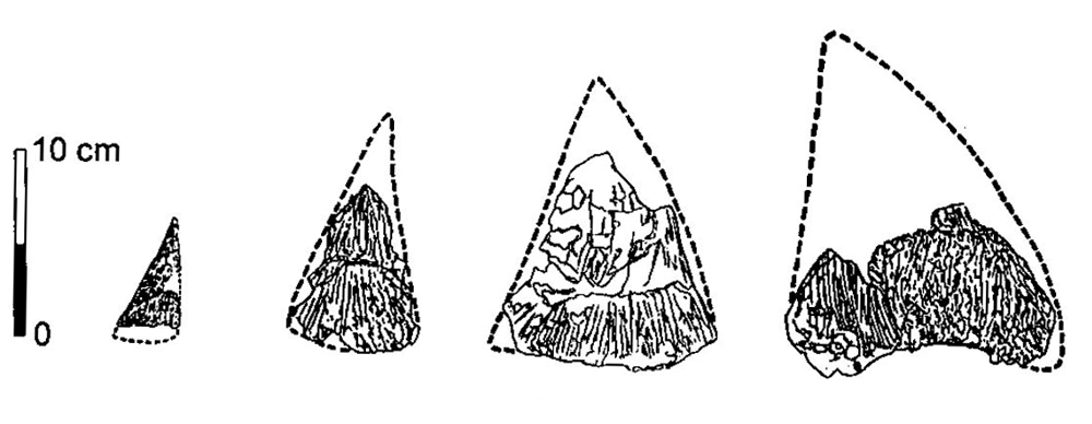 Large, laterally compressed conical and semi-conical dermal structures lined the upper surface of the tail (at least) in some diplodocids, and perhaps in other diplodocoids and sauropods too. Image: Czerkas (1994).