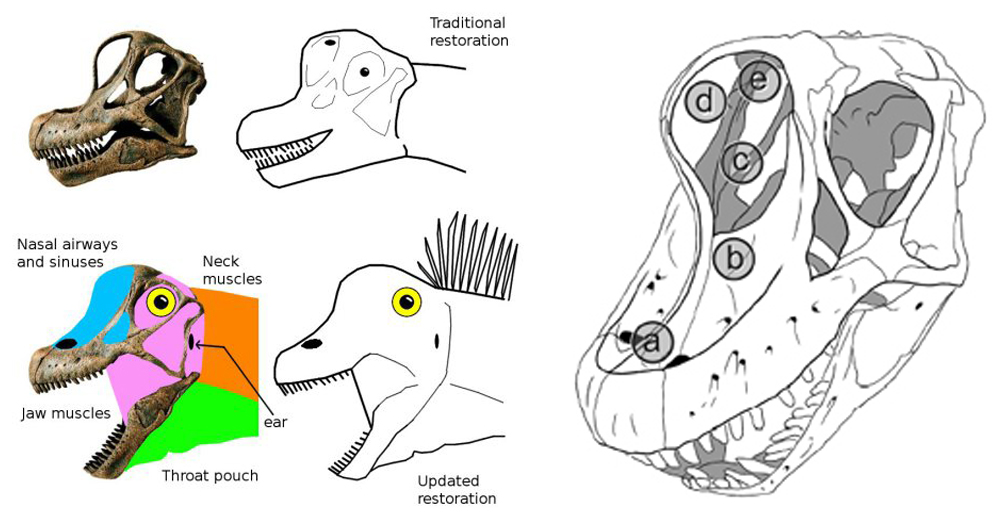 The soft dinosaur revolution comes to Sauropod Town. At left, an image by Matt Wedel which shows why we need more soft tissue on our sauropods. At right, Larry Witmer's (2001) depiction of the different possibilities as goes nostril position in sauropods. (a) is the most likely option based on anatomical data. Image: Mathew Wedel, Witmer (2001).