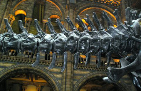 Tall neural spines, massive, wing-shaped transverse processes and other structures show that an enormous quantity of musculature would have been obvious along the proximal part of the sauropod tail. This is the tail of … ugh .. Dippy, the cast of  Diplodocus carnegii  until recently on show in London. Image: Darren Naish.