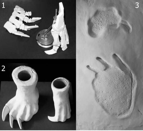 Tschopp  et al . (2015)   used data from complete  Camarasaurus  hands and feet to produce the skeletal and soft-tissue models you see here (in 1 and 2), and then used these to generate tracks (3). The tracks are an exact match for real fossil tracks. Image: (c)  Tschopp  et al . (2015) .