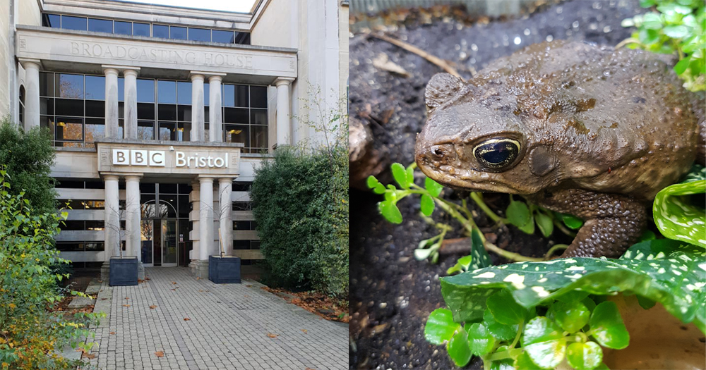 Milo the Neotropical giant toad - at right - now lives at Tet Zoo Towers, but his original home was the BBC Natural History Unit, at BBC Bristol. Like Milo, I spent time at BBC Bristol during 2018. Why? Well… we shall see. Images: Darren Naish.
