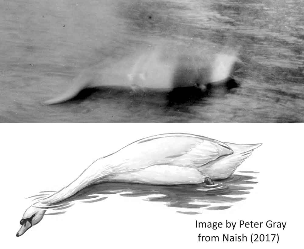 At top, the Hugh Gray photo of 1933. A 'mid-sized' object (look at the ripples), that's white or near-white, has a sinuous appendage at one end, a short, pointed appendage at the other, and a dark appendage that disappears into the water close to one of its ends. The double-strike areas (featuring pale triangular patches) indicate double-exposure (that is, the film failed to move on and was exposed again). Image:   Naish (2017)  .