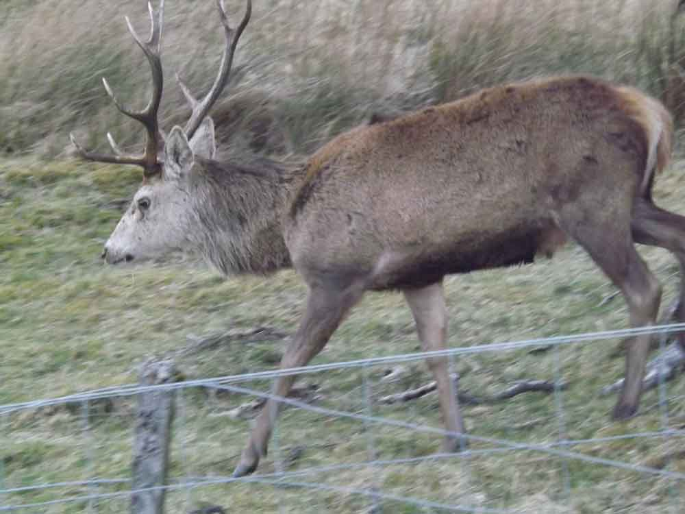 It should not be assumed that people - even people who've lived their lives in rural places, surrounded by wildlife - can always identify such animals as deer, seals and waterbirds (like grebes and cormorants) when they see them in unusual places, poses or situations. Deer are abundant around Loch Ness. I photographed this male Red deer adjacent to Loch Knockie, which is just a few hundred metres to the east of Loch Ness. Image: Darren Naish.