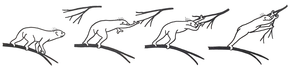 Cautious climbers generally don't leap, or drop from height onto other structures when climbing. Instead, they mostly climb slowly and deliberately, with actions like these (here depicted in a potto) being used to move from one branch to another. Image:   Napier & Napier (1985)   (and based on an original by Charles-Dominique).