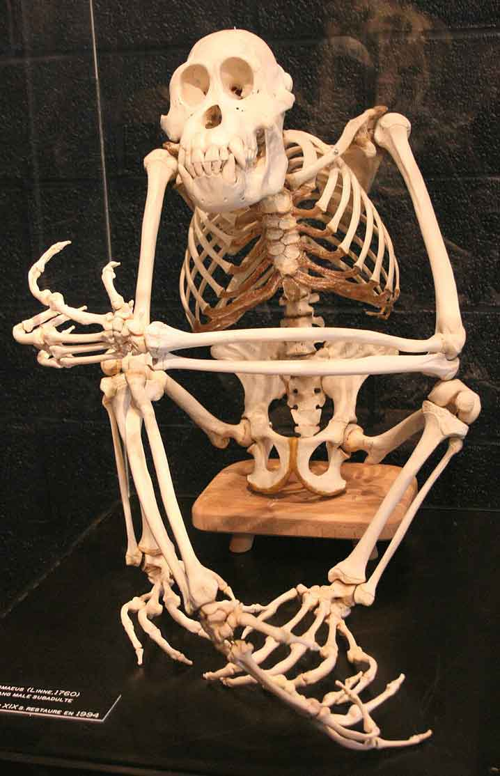 Hominid skeletons - this is that of an orangutan, photographed at Musée d'histoire Naturelle, Tournai (Belgium) - possess numerous features indicative of arboreal adaptation. Image: Michel Wal, CC BY-SA 3.0, wikipedia (original  here ).