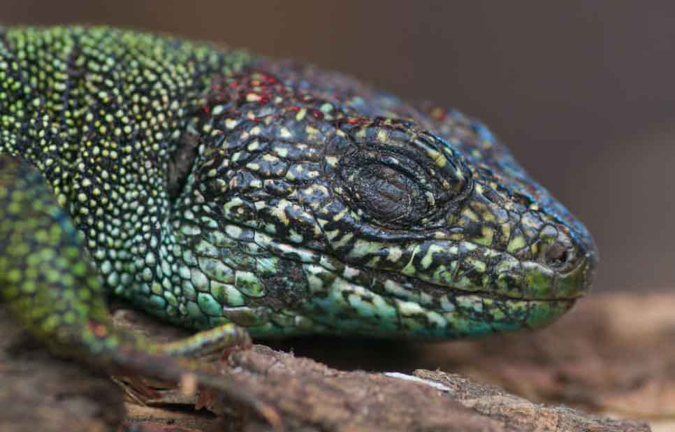 Not sure if this lizard - this is a  Lacerta  species, most likely a Western green lizard  L. bilineata  - is fully asleep, but at least it has one of its eyes closed. Image: Neil Phillips, used with permission.