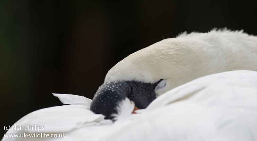 Sleeping Mute swan  Cygnus olor , not obviously employing unihemispheric sleep. Image: Neil Phillips, used with permission.
