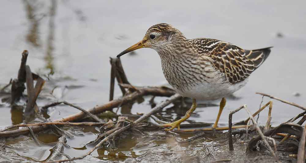 Pectoral sandpiper, the most wideawake of the waders… pending future discoveries. Image:  Andy Reago & Chrissy McClarren , wikipedia, CC BY 2.0 (original  here ).