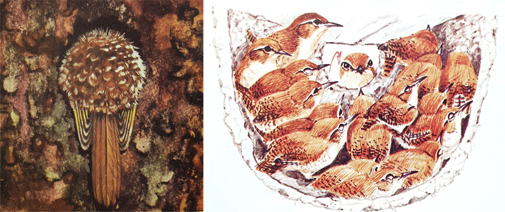 Left: a tree-creeper ( Certhia ), sleeping while partially tucked up inside a cavity in a tree. Right: a rendition of one of those famous cases in which large numbers of wrens ( Troglodytes troglodytes ) - more than 40 or 50 - have been discovered packed inside the same nest, huddled together for warmth. In this case, the wrens are using an empty House martin  Delichon urbicum  nest. Images: Burton (1969), Ad Cameron, in Perrins (1992).