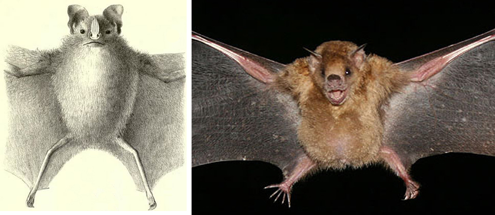 The tail and uropatagia (the membranes joining the inner sides of the legs to the tail) are reduced, and sometimes highly reduced, in some phyllostomids. Here, we see this reduced condition in (at left) the Toltect fruit-eating bat  Dermanura tolteca  and (at right) in a Little yellow-shouldered bat  Sturnira lilium . Images: M.H. de Saussure, 1860, in public domain (original   here  ); Tobusaru, wikipedia CC BY 3.0 (original   here  ).
