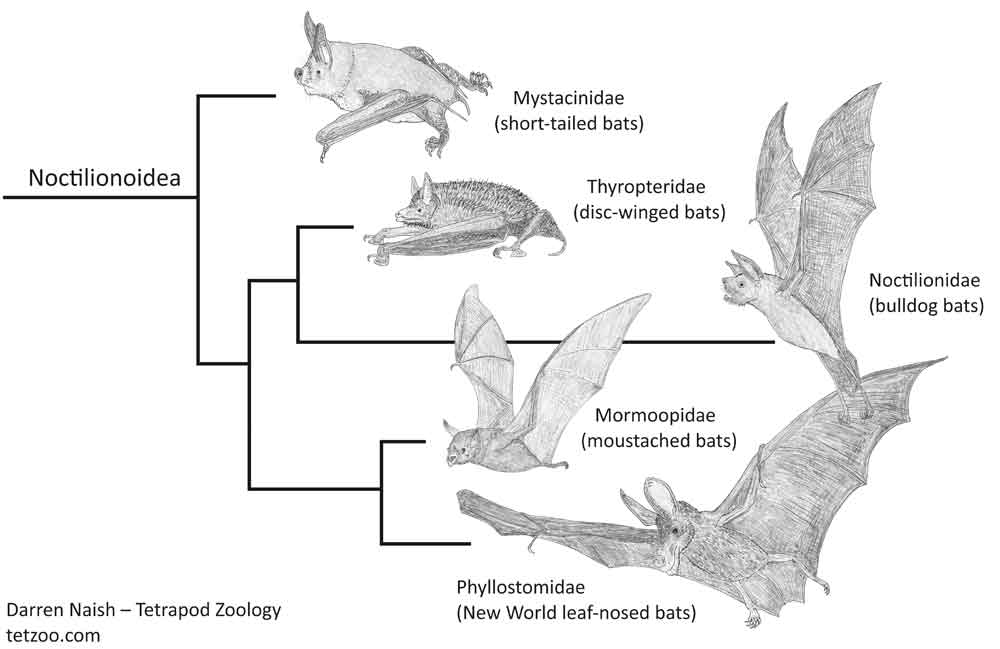 Simplified cladogram depicting the affinities of several of the bat groups shown - via morphological and molecular studies - to belong together within Noctilionoidea. The illustrations here are among the many, many bat drawings I've done for my in-prep textbook project,   progress on which can be seen here.   The  Vampyrum  representing Phyllostomidae, incidentally, is a placeholder which needs replacing (the existing illustration was copied directly from the work of another artist). Image: Darren Naish.