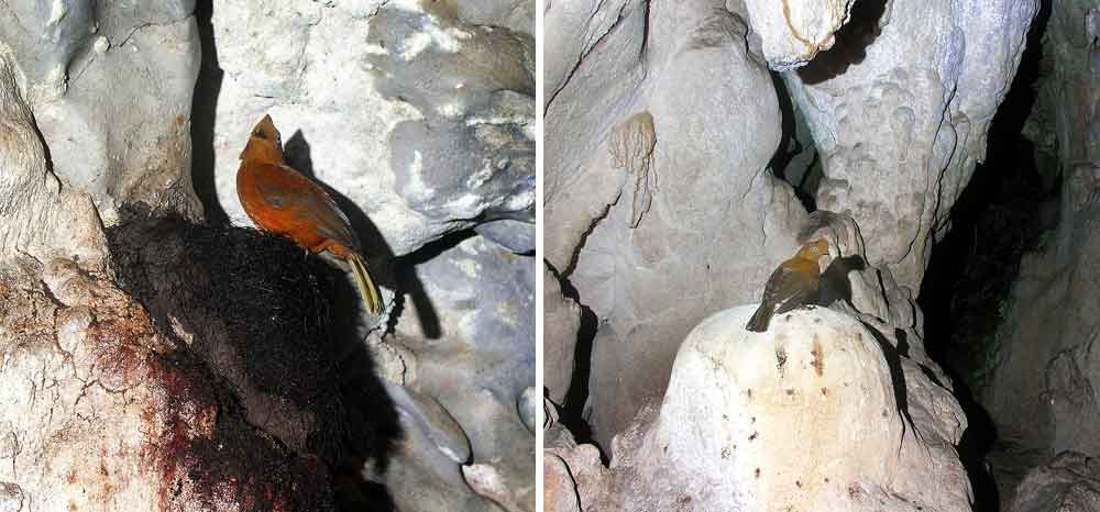 Images showing  Rupicola  in life virtually always show them in forested settings, but they also frequent caves, the walls of ravines, and boulder fields. These photos, showing a female Andean cock-of-the-rock at her nest and while elsewhere in a cave, were taken in the Cueva del Higueron, Peru. Images:   JYB Devot  , wikipedia, CC BY-SA 4.0 (originals   here   and   here  ).