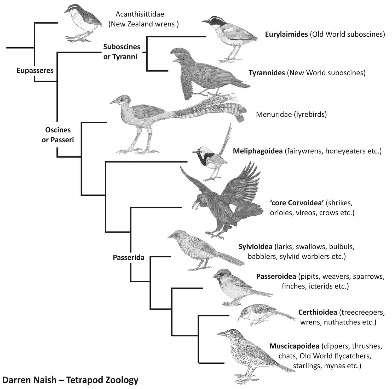 A much-simplified depiction of passerine phylogeny. Suboscines and oscines form the two great groups. This diagram is one of a huge number produced for my in-prep textbook on the vertebrate fossil record,   on which go here  . Image: Darren Naish.