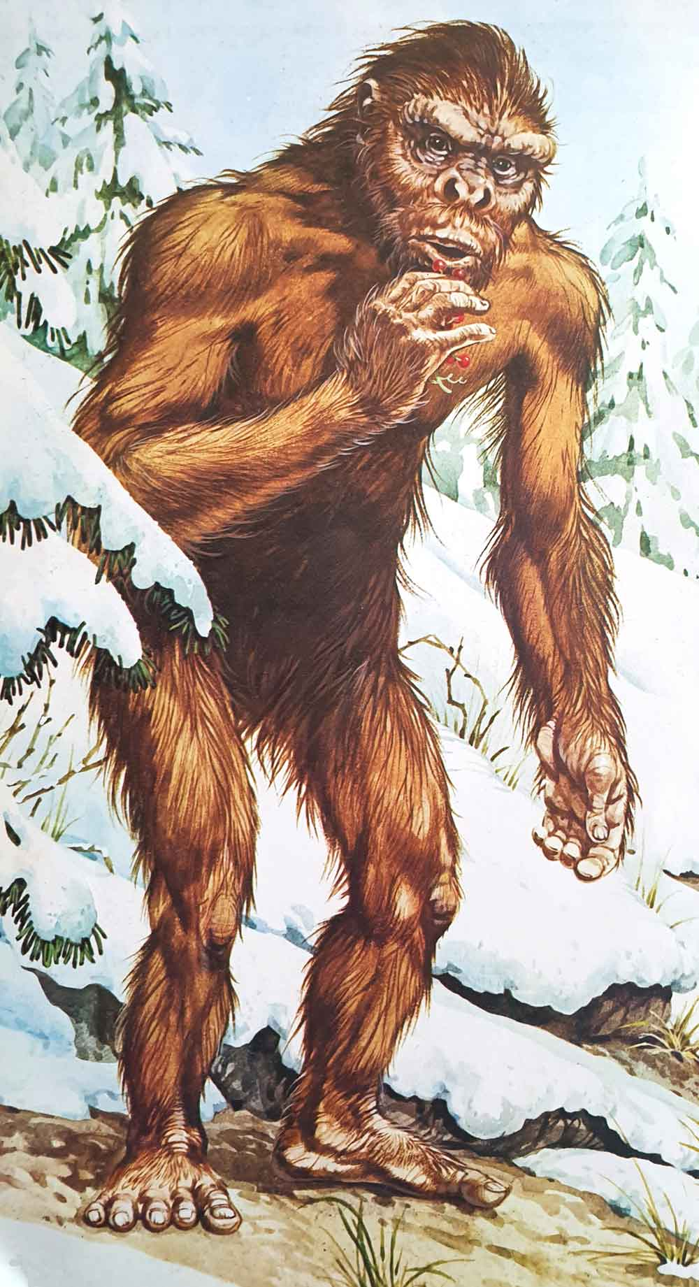 A gracile, thin-furred, 'old man' bigfoot (which is a bit odd, given that the creature is depicted in a snowy landscape). Image: John Francis/Usborne/Miller 1977.