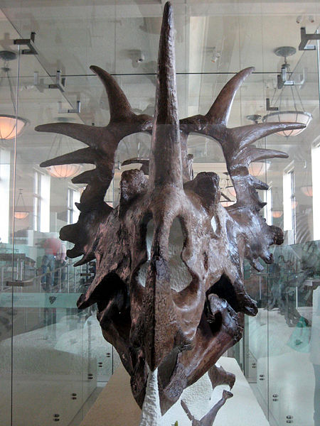 The skull of  Styracosaurus albertensis , as seen from the front. The beak section is narrow and deep, not wide and rounded. This is AMNH 7372 in New York, collected from what's now Dinosaur Provincial Park by Barnum Brown in 1915. Image:   Claire Houck  , CC BY-SA 2.0 (original   here  ).