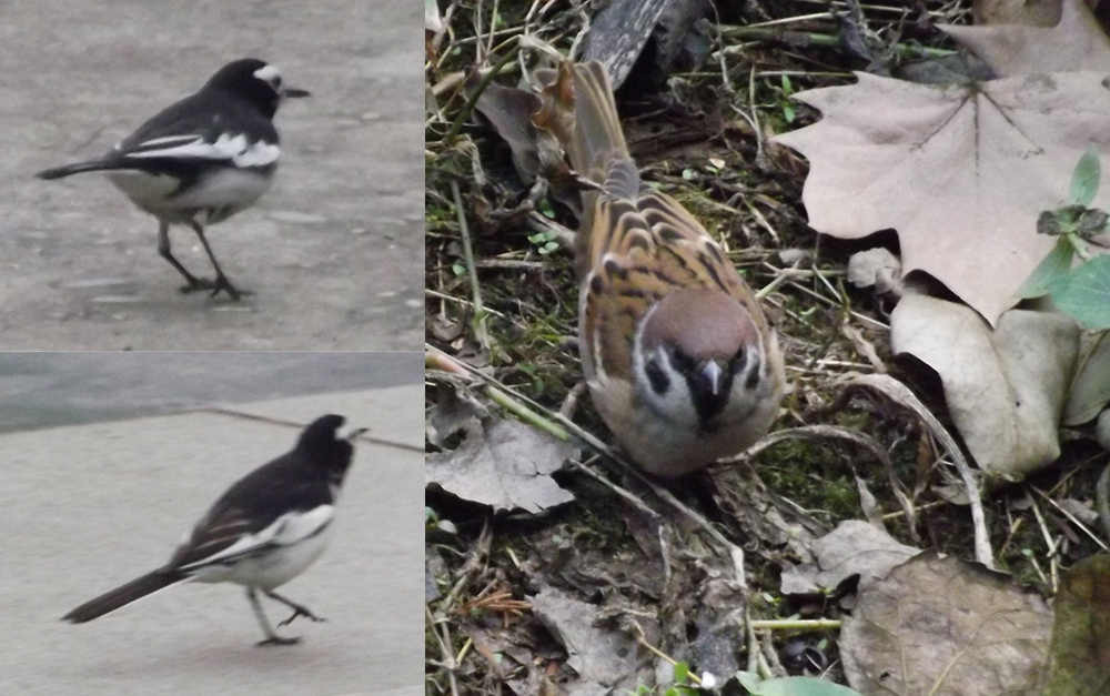 At left: two different Hodgson's wagtail  Motacilla alba alboides , a subspecies of White wagtail. At right: Eurasian tree sparrow  Passer montanus . Images: Darren Naish.