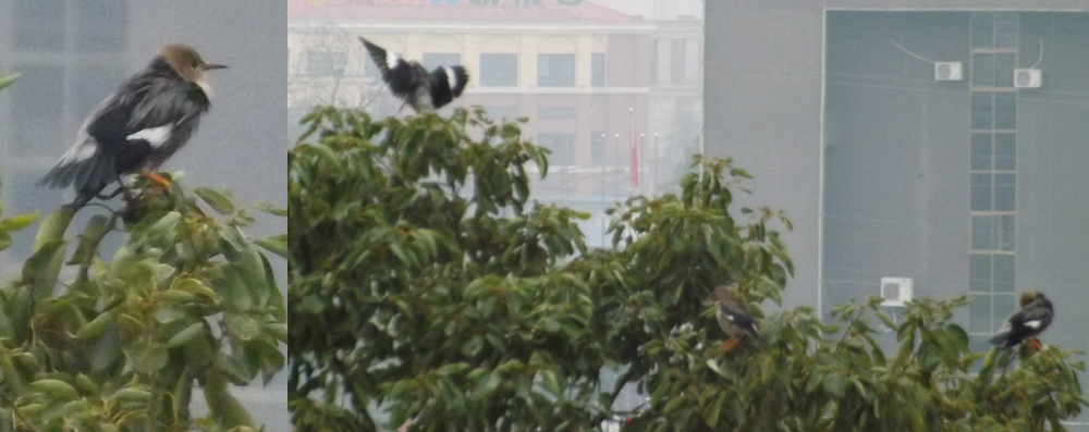 Red-billed starling  Sturnus sericeus  in downtown Zigong. There were about 15 birds in this group; the bird shown at left is the same individual seen at far right in the photo on the right. Image: Darren Naish.