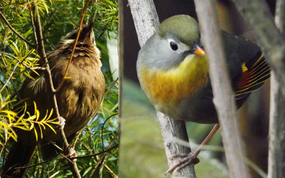 At left: White-browed laughingthrush  Pterorhinus sannio  singing. At right: Red-billed leiothrix  Leiothrix lutea . Images: Darren Naish.
