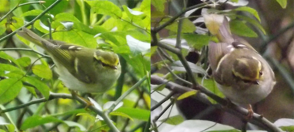Definitely a phylloscopid… and perhaps a Pallas's leaf warbler  Phylloscopus proregulus . Both images show the same individual. Images: Darren Naish.