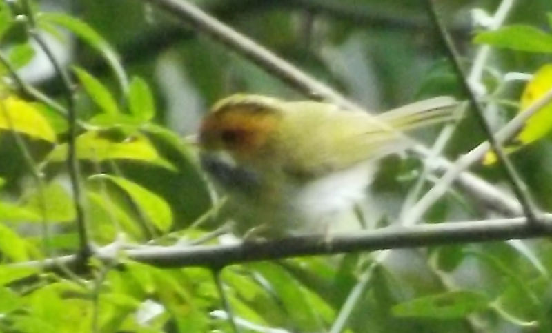 Blurry Rufous-faced warbler  A. albogularis , photographed in the gardens of the Zigong Dinosaur Museum. Image: Darren Naish.