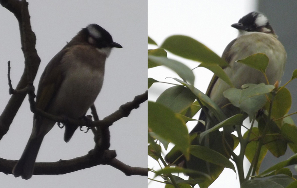 Light-vented bulbul  Pycnonotus sinensis . Different individuals seen, variously, in an ornamental garden and in a planted region in the middle of a heavily pedestrianised area. Images: Darren Naish.