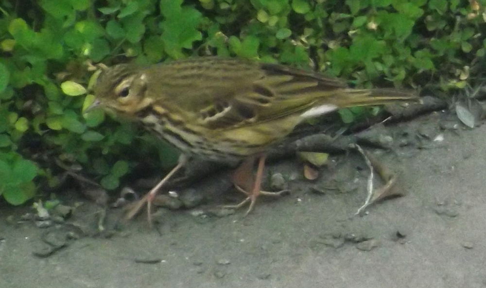 Olive-backed pipit  Anthus hodgsoni , in characteristic theropod skulking pose. The Olive-backed pipit is a widespread Asian species, occurring from the edge of the Urals to the coasts of the Pacific and Indian oceans. Image: Darren Naish.