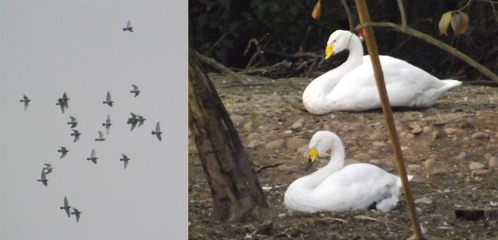 Feral pigeons and Whooper swans in China. Discussed below. Images: Darren Naish.