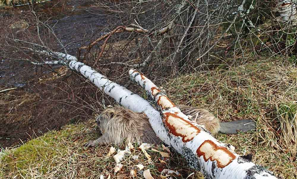 Unfortunate European beaver killed by a silver birch, one of several images online of beavers killed by trees. Image: Beate Strøm Jahansen,   from here  .