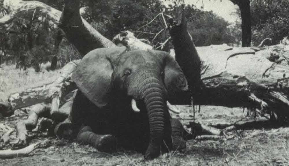 Elephants are sometimes killed by falling or toppled trees. This photo of a deceased bull is from   Douglas-Hamilton & Douglas-Hamilton (1975)  .